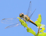another very friendly DragonFly