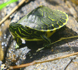 Baby Turtle boy - looks like someone threw a house pet into the lake :-(