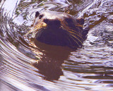 Mr. Otter - WOW! My New Resident Buddy.. there is a Mrs. Otter but she was to shy..