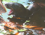 Mr. Otter takes a yawn - Look at those Hangers !