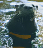 Mr. Otter trying to make friends ! probably with the fish to :-(