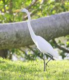 the Great White Egret lookin for another meal in the yard