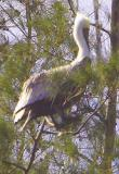 the Brown Pelican pearches on Austrialian Pines