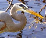 I saw this juvenile Great Blue Heron only 1 day - he let me get 10 feet away for 2 hours of shooting & I have never seen him aga