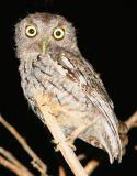 A  little friendly Eastern Screech Owl that I have been trying to get a in focus shot of him in the yard for years….