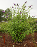 Seedling Butterfly Bush (Tag #436)
