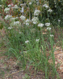 Garlic Chives (Tag #609)