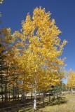 (7350) Autumn Gold Aspen