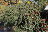 Creeping Cotoneaster #410 (9909)
