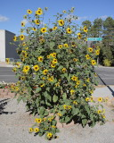 Sunflower (9924)