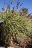Morning  Light Grass #560 (9919)