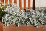 Artemisia 'Dusty Miller' (9994)