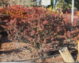 Crimson Pygmy Barberry #435 (9989)