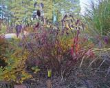 Red Osier Dogwood #423 (9985)