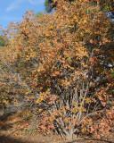 Wentworth American Cranberry Viburnum #419 (9975)
