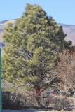 Ponderosa Pine #106 (2971)