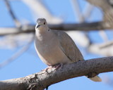 Eurasian Collared Dove (3869)
