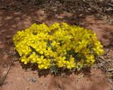 Wallflowers (7251)