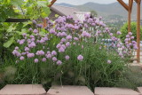 Chives (Tag #608)