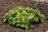 Variegated Lemon Balm (Tag #612)