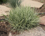 Bulbous Oat Grass Variegated #550 (8778)