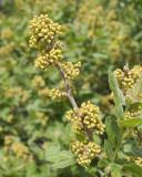 Sumac #412 Flower Buds (8788)