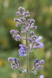 Catmint #830 (9157)