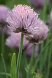 Chives #608 (9059)