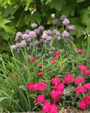 Chives in Sensory Garden (9176)