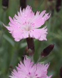 Dianthus 'Bath's Pink' (9039)