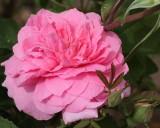Mayflower Rose 'David Austin' #318 (9105)