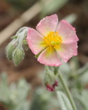 Rock Rose #741 (9083)