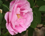 Therese Bugnet Rose #418 (9134)