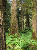 Old Growth Forest along Ohmer Creek Trail (0406L)