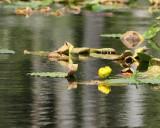 Yellow Pondlily (6099)