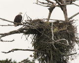 Nesting Bald Eagle (6121)