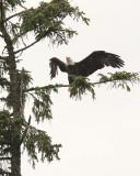 Bald Eagle (6131)