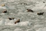 Harbor Seals (6718)
