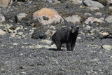Black Bear (6739)