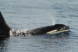 Orca Spouting in Frederick Sound (6958)