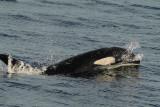 Orca Riding High (7165)
