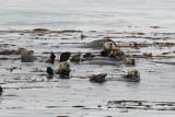 Sea Otters in Kelp (7569)