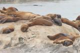 Steller Sea Lions (7592)