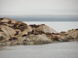 Steller Sea Lions (0611L)