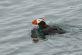 Tufted Puffin (7645)