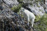 Mountain Goat Eating (7846)