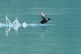 Pigeon Guillemot Taking Off (7881)