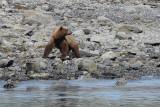 Brown Bear (7977)