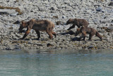 Brown Bear with Cubs (8088)