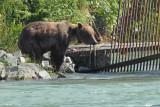 Brown Bear Speedy (8271)